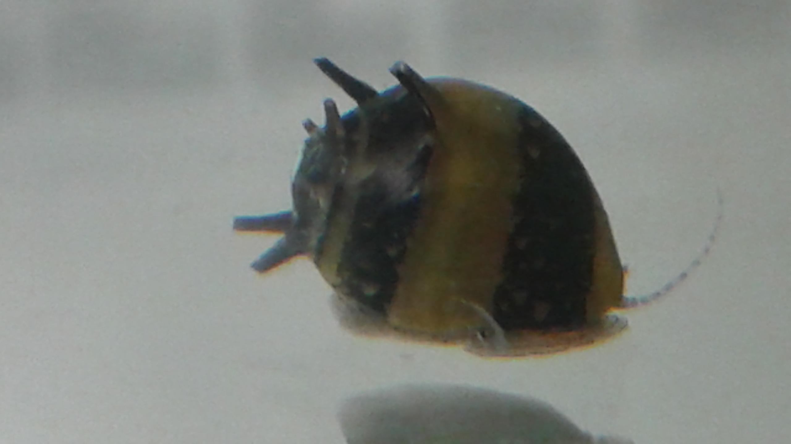 Horned Nerite Snails